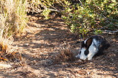 Miniature rabbit grazing on nature Royalty Free Stock Image