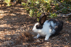 Miniature rabbit grazing on nature Stock Photos