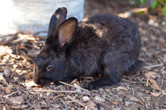 Miniature rabbit grazing on nature Stock Photography
