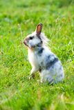 A miniature rabbit standing on hind legs. In the grass stock images
