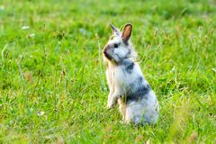 A miniature rabbit standing on hind legs. In the grass stock photography
