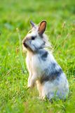 A miniature rabbit standing on hind legs. In the grass royalty free stock image