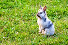 A miniature rabbit standing on hind legs. In the grass stock photos