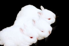 Miniature Rabbits Stock Photo