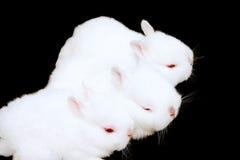Miniature Rabbits. Adorable baby miniature rabbits stock photo