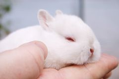 Miniature Rabbits Stock Image