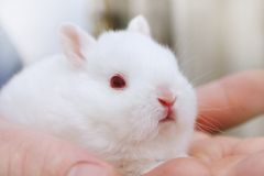 Miniature Rabbits Stock Images