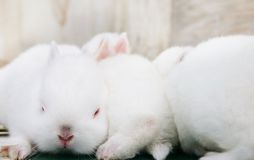 Miniature Rabbits. Adorable baby miniature rabbits royalty free stock image