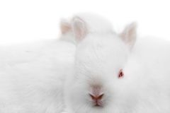 Miniature Rabbits Royalty Free Stock Photos