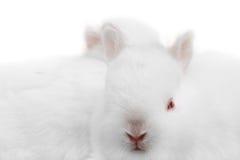 Miniature Rabbits. Adorable baby miniature rabbits royalty free stock photos