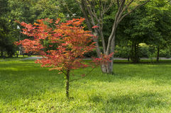 Miniature Red Maple Royalty Free Stock Photo