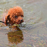 Miniature red toy poodle puppy bravely bathing in sea. Royalty Free Stock Images