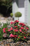 Miniature rose bush. A front yard landscape of miniature roses in front of a house stock photography