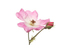 Miniature rose flower and buds Royalty Free Stock Photography