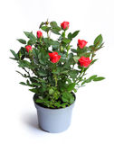 Miniature rose in a flower pot Stock Photo