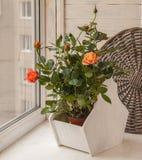 Miniature roses on the window stock photo