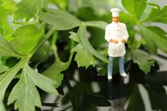 Miniature scale model chef standing with flat leaf parsley. Miniature scale model chef in uniform standing with flat leaf parsley stock images