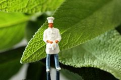 Miniature scale model chef in uniform standing with Sage leaves. With reflection royalty free stock photos