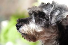 Miniature Schnauzer. For background use Royalty Free Stock Photo