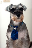 Miniature Schnauzer. For background use Stock Images