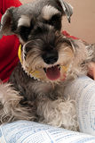 Miniature Schnauzer. For background use Royalty Free Stock Image