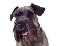 Miniature schnauzer. Portrait of a black miniature schnauzer isolated on white stock photo