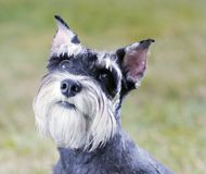 Miniature Schnauzer. Portrait of a young miniature schnauzer on lawn stock images