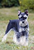 Miniature Schnauzer. Portrait of a young miniature schnauzer on lawn royalty free stock photography
