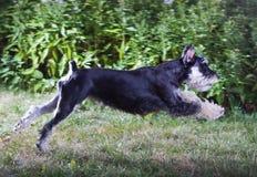 Miniature Schnauzer. Running dog breed Miniature Schnauzer royalty free stock images