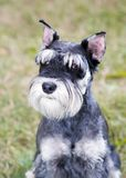 Miniature Schnauzer. Portrait of a young miniature schnauzer on lawn royalty free stock photos