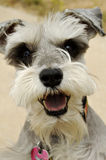 Miniature schnauzer. Greets a visitor stock image