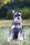 Miniature Schnauzer. Portrait of a young miniature schnauzer on lawn royalty free stock images