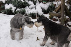 Miniature schnauzer. Two female miniature schnauzers playing in the winter snow Royalty Free Stock Photography