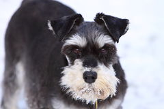 Miniature schnauzer. Female miniature schnauzer playing in the winter snow Stock Photography