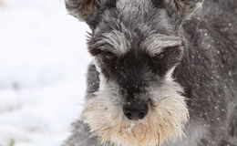 Miniature schnauzer. Female miniature schnauzer playing in the winter snow Stock Image
