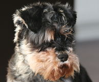 Miniature schnauzer Stock Photo