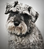 Miniature Schnauzer. Portrait of a miniature schnauzer dog looking at the camera royalty free stock photos