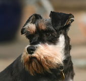 Miniature schnauzer. A female miniature schnauzer looking off into the distance Royalty Free Stock Photos