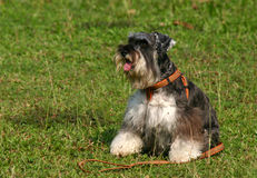 Miniature Schnauzer. Basking in the sun in a green field Stock Photography