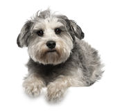 Miniature Schnauzer, 3 years old, lying. In front of white background Stock Photo