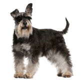 Miniature Schnauzer, 6 years old, standing Stock Photos