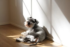 Miniature Schnauzer Royalty Free Stock Photography