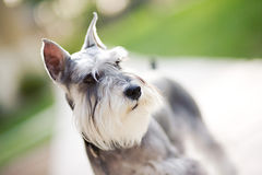 Miniature Schnauzer. Standing alone on the street Royalty Free Stock Photos