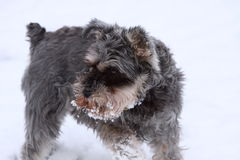 Miniature Schnauzer. A female miniature schnauzer playing in the snow Stock Photos
