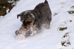 Miniature schnauzer. A female miniature schnauzer playing in the snow with a ball Royalty Free Stock Images