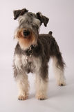 Miniature Schnauzer Stock Photos