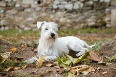 Miniature schnauzer in autumn. Miniature white schnauzer in nature Royalty Free Stock Image
