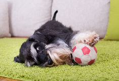 Miniature Schnauzer with ball. Cute Miniature Schnauzer lying on green carpet with ball and inviting to play royalty free stock photo