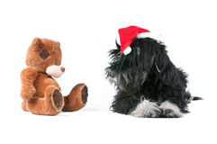 Miniature schnauzer and bear  on white Royalty Free Stock Image