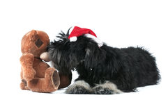 Miniature schnauzer and bear  on white Royalty Free Stock Photography